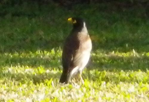 ムクドリに似た鳥