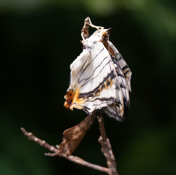 イシガケチョウの羽化