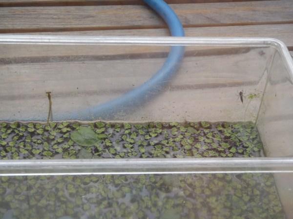 水槽から現れたイトトンボ