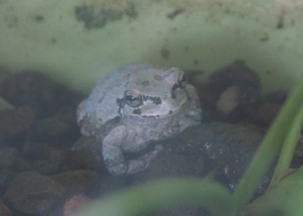 水色のアマガエル