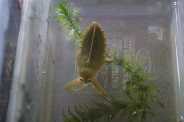 湖北野鳥センターのタガメの幼虫