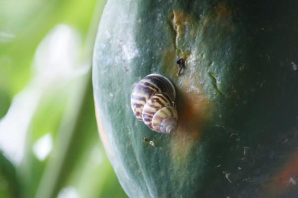 バリ島のカタツムリ