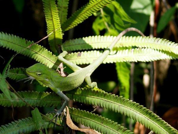 バリ島の緑のトカゲ