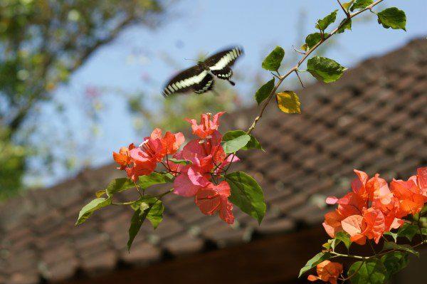 バリ島のアゲハチョウ