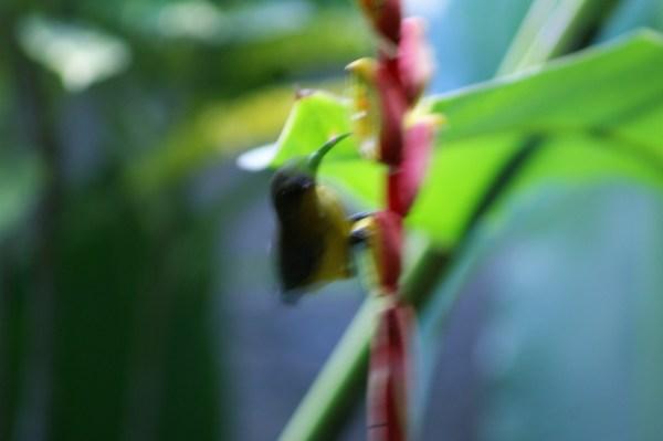 バリ島のタイヨウチョウ