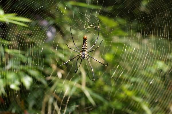 バリ島のクモ