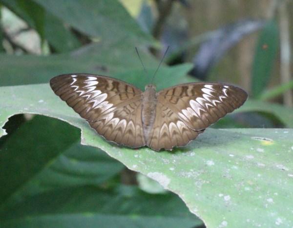 バリ島のチョウ