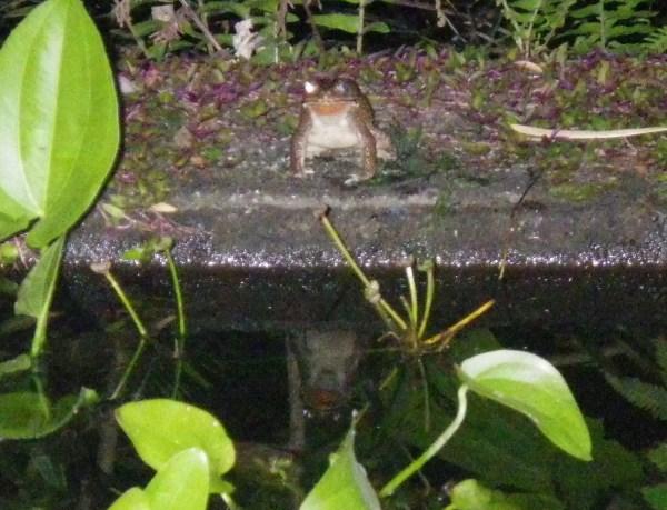バリ島ウブドゥのカエル