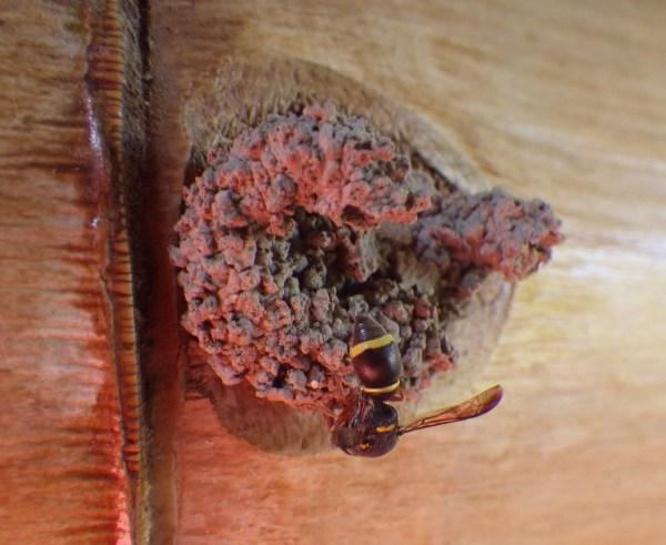竹の穴に巣をつくるハチ