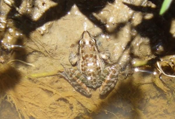 マダガスカルのカエル