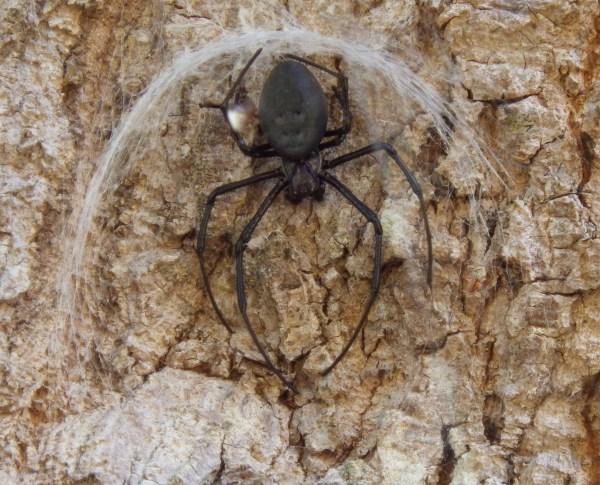 マダガスカルのクモ