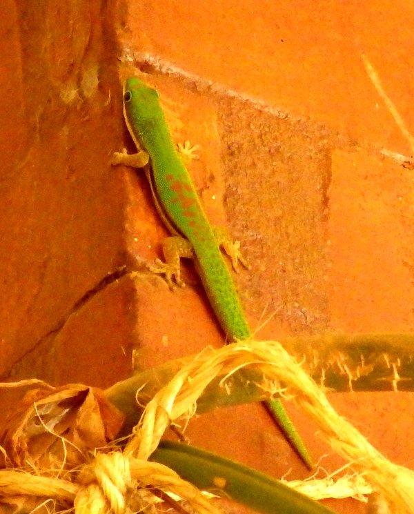 マダガスカルの緑色のヤモリ