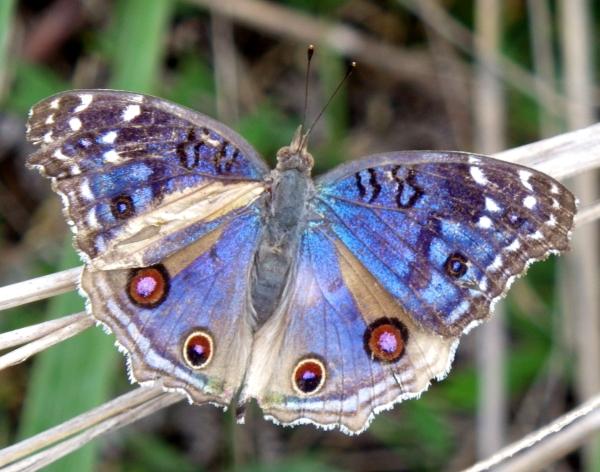 マダガスカルの蝶