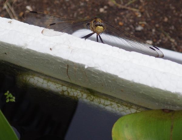 メダカ水槽のトンボ