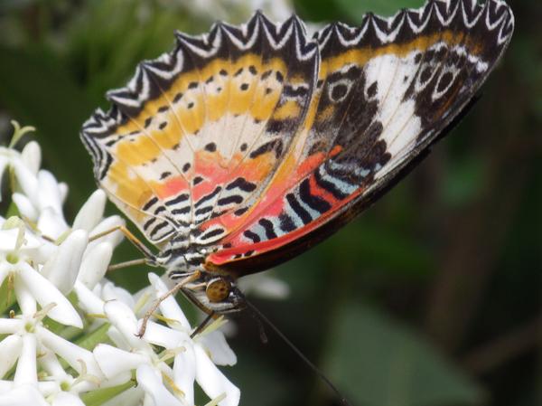 カンボジアの蝶