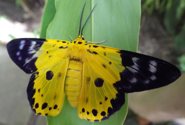 カンボジアの蛾