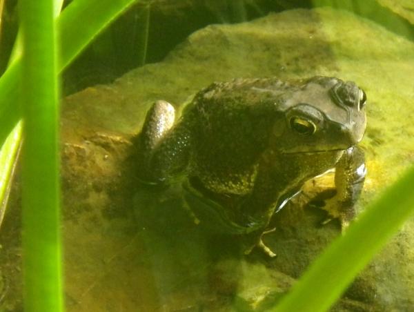 カンボジアのカエル