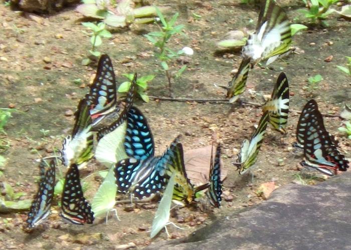 カンボジアの蝶の群れ